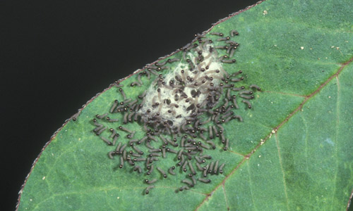 fall army worm eggs