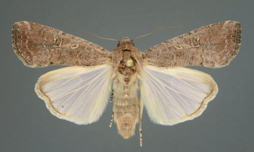 fallarmywormadult moth
