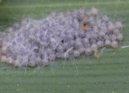 Fall Army worm eggs